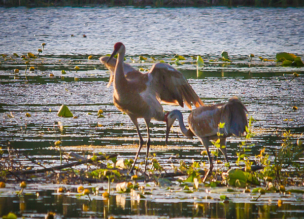 <b>Submitted By:</b> Peggy Sue Zinn <b>From:</b> Traverse City <b>Description:</b> Sand Hill Cranes