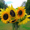 <b>Submitted By:</b> Ron Murden <b>From:</b> Traverse City <b>Description:</b> Taken 9/5/10 11:14am. Bellaire, Mi. (digital edit of a photo) a sunflower bouquet presented to me by my mother. Those flowers and mom were a beautiful site.