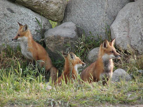 <b>Submitted By:</b> Bill Scott <b>From:</b> Traverse City <b>Description:</b> Three foxes; Blair twp; 2004