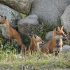 <b>Submitted By:</b> Bill Scott <b>From:</b> Traverse City <b>Description:</b> Three foxes; Blair twp; 2004