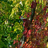 <b>Submitted By:</b> Steve Nowakowski <b>From:</b> Lambertville, Michigan <b>Description:</b> Pileated Woodpecker hiding in the fall colors along the shoreline of Duck Lake inside Interlochen State Park.