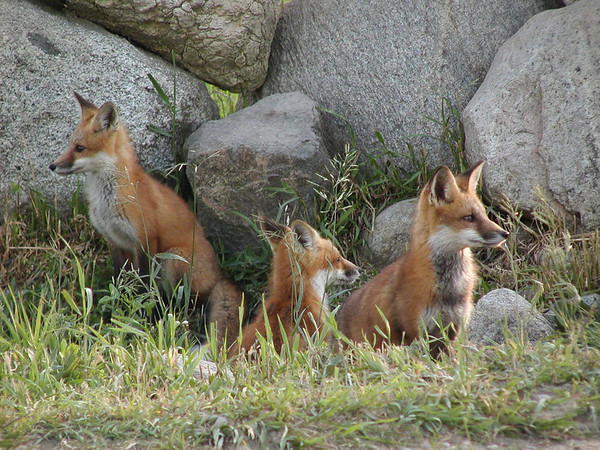 <b>Submitted By:</b> Bill Scott <b>From:</b> Traverse City <b>Description:</b> Three foxes on guard