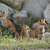 <b>Submitted By:</b> Bill Scott <b>From:</b> Traverse City <b>Description:</b> Three foxes on guard