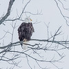 Eagle #1<br /> <br /> Photographer's Name: Peggy Sue  ZINN<br /> Photographer's City and State: Traverse City, MI