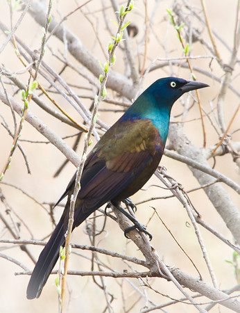 <b>Submitted By:</b> Peggy Sue Zinn <b>From:</b> Traverse City <b>Description:</b> Common Grackle
