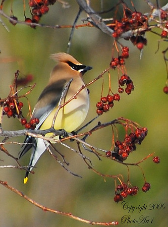 Photographer Susan Niles<br /> Taken near Traverse City. MI<br /> sueniles@ymail.com<br /> <br /> Cedar Wax Wing
