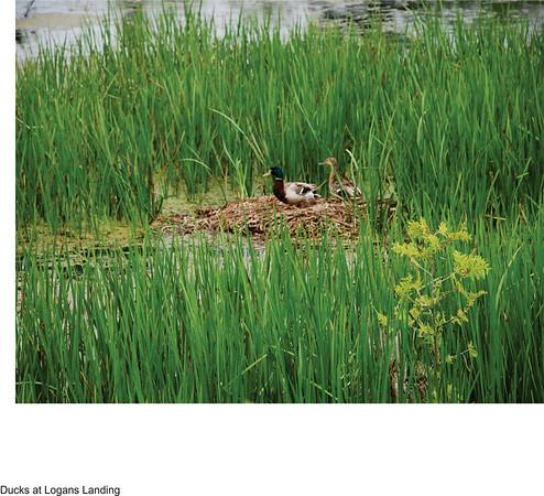 <b>Submitted By:</b> Richard S. Forton <b>From:</b> Traverse City <b>Description:</b> Ducks in marsh at Logan's Landing.