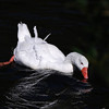 Photographer Susan Niles<br /> Traverse City, MI<br /> <br /> Wild domestic goose<br /> Taken at Boardman Lake<br /> Traverse City, MI