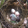 C.D. Dahlquist    <br /> Kingsley, MI<br /> <br /> Song sparrow nest in my garden - Spring, 2008.