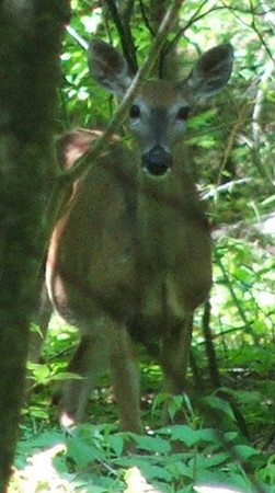 <b>Submitted By:</b> sharon compton baatz <b>From:</b> maple city, michigan <b>Description:</b> Doe peeking thru the trees, summer 2009