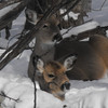 <b>Submitted By:</b> Sandy Coleman <b>From:</b> Traverse City <b>Description:</b> deer