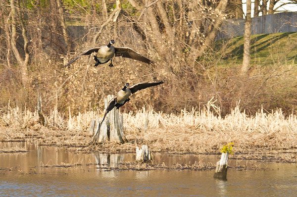 <b>Submitted By:</b> Peggy Sue Zinn <b>From:</b> Traverse City <b>Description:</b> Geese coming in for a landing