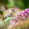Humming Bird<br /> <br /> Photographer's Name: peggy Sue  Zinn<br /> Photographer's City and State: Traverse City, MI