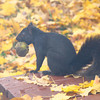 <b>Submitted By:</b> Colin Frye <b>From:</b> Manton, MI <b>Description:</b> PREPARING FOR WINTER.......  I caught this squirrel at the edge of my back deck with a walnut in his mouth.