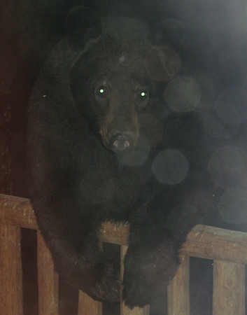 <b>Submitted By:</b> Lucy Hunter <b>From:</b> Williamsburg, Michigan <b>Description:</b> Midnight Visitor on my porch