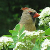 <b>Submitted By:</b> Anthony John DeGroot <b>From:</b> Traverse City <b>Description:</b> Female Cardinal in the Mountain Ash behind our home in Traverse City