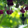 Carol Bennett<br /> Frankfort<br /> <br /> I took this just hours after I put the Fuschias and hummingbird feeder out <br /> on my porch.<br /> 5-23-09