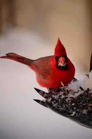 <b>Submitted By:</b> Myongsoon Cho <b>From:</b> Traverse City <b>Description:</b> Male Cardinal