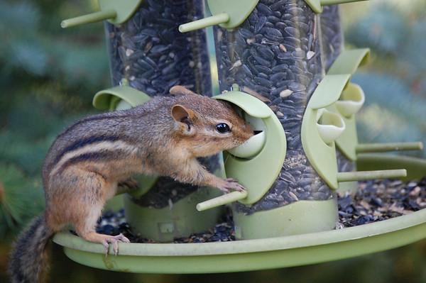 <b>Submitted By:</b> Casey Leach <b>From:</b> Traverse City <b>Description:</b> Chipmunk perched on a bird feeder
