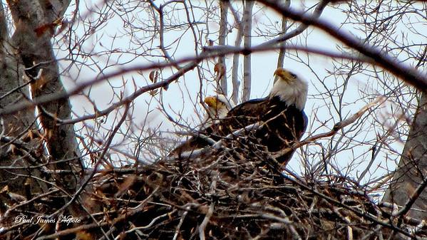 Nesting Eagles Paul J Nepote  Traverse City, Michigan  Canon PowerShot SX10IS