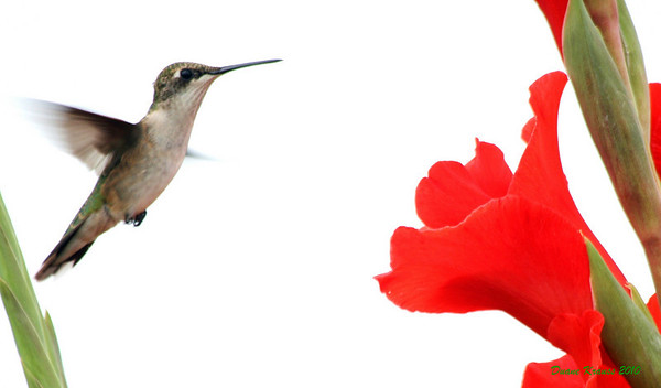 <b>Submitted By:</b> Duane Krauss <b>From:</b> Interlochen <b>Description:</b> A female ruby-throated hummingbird searches for food among the gladiolas at the Harris Farm in Honor.