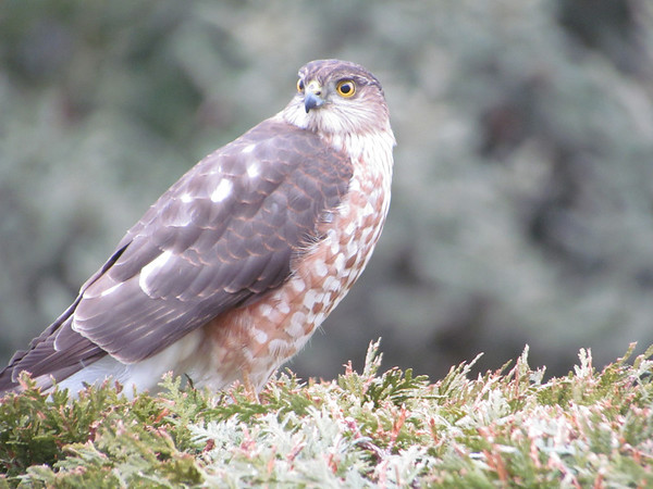 <b>Submitted By:</b> Frederic Messick <b>From:</b> Traverse City <b>Description:</b> Hawk, probably sharp-shinned