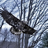 <b>Submitted By:</b> Julie Christiansen <b>From:</b> Charleovoix, MI <b>Description:</b> Here is a shot of a Bald Eagle released by Wings of Wonder, Sat. Nov. 20th at Bower's Harbor on Old Mission.