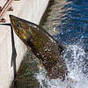 Salmon still full of fight<br /> <br /> Photographer's Name: Pam  Murphy<br /> Photographer's City and State: Traverse city, MI
