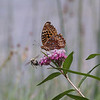 <b>Submitted By:</b> Laurie Robinson <b>From:</b> Cedar <b>Description:</b> Flutter~bye and friend