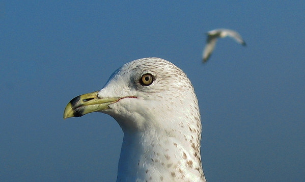 Wildlife<br /> West Bay Gull<br /> Paul Nepote, Traverse City<br /> Ab315@tcnet.org<br /> Canon PowerShot A630
