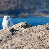 <b>Submitted By:</b> Heather Higham <b>From:</b> Rapid City <b>Description:</b> We spotted this snowy owl while kayaking near the Clinch Park marina on 3/14. He kindly stayed on the rocks as we paddled back to shore and grabbed a camera.