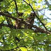 Twin Barred Owlets in the woods near Maple City<br /> <br /> Photographer's Name: Gregg Baustian<br /> Photographer's City and State: Maple City, MI
