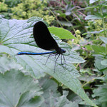 <b>Submitted By:</b> Joann Ewing & Brian Bensett <b>From:</b> Traverse City, MI <b>Description:</b> Black Wing Dragonfly visiting our garden.