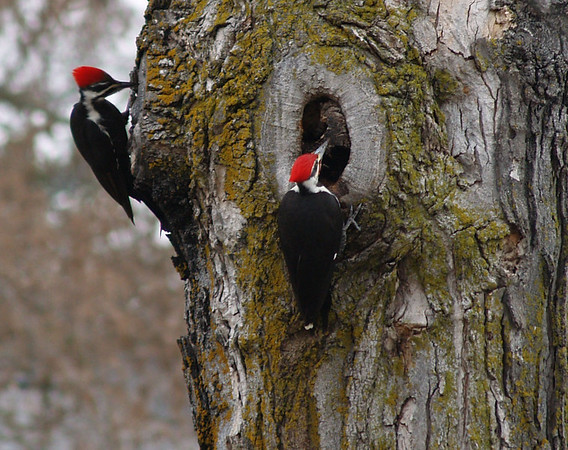 <b>Submitted By:</b> Randal S Hart <b>From:</b> traverse city <b>Description:</b> wood peckers on the tree next door...