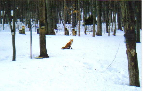<b>Submitted By:</b> Ed & Pauline Galla <b>From:</b> Cedar <b>Description:</b> Red fox waiting for a squirrel to steal a treat from the bird feeders.