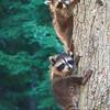 Racoons playing in the Yard 2<br /> <br /> Photographer's Name: Sherry Good<br /> Photographer's City and State: Interlochen, MI