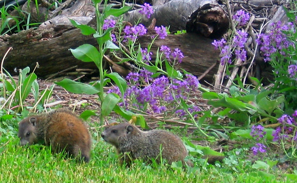 C.D. Dahlquist<br /> Kingsley, MI<br /> <br /> Baby woodchucks at the woodpile on my farm - Spring, 2008.