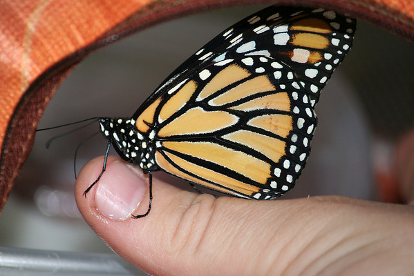 Metamorphosis lesson plan:  upon leaving its chrysalis, straightening her <br /> wings by pumping blood into them, flapping her wings to dry out, etc. the <br /> butterfly was ready to feed as a fully grown butterfly.  We were feeding her <br /> a sugar water solution.<br /> <br /> In this picture you can see the Monarch Butterfly using her proboscis <br /> (tongue) to eat the sugar-water droplets off of my assistant's thumb <br /> (Jessica)<br /> <br /> <br /> Photographer:  Roberta Benedict<br /> Early Learning Daycare & Preschool<br /> Between Interlochen & Grawn lights