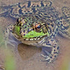 <b>Submitted By:</b> sandra L. Albrecht <b>From:</b> Kingsley <b>Description:</b> A Friendly Frog