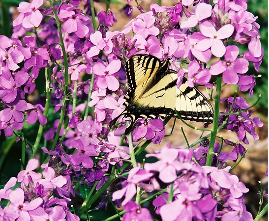 C.D. Dahlquist<br /> Kingsley, MI<br /> <br /> Phlox and swallowtail in my garden - Spring 2008