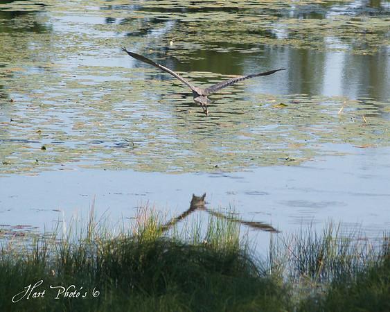 <b>Submitted By:</b> Randal Scot Hart <b>From:</b> traverse city <b>Description:</b> blue heron