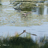 <b>Submitted By:</b> Randal Scot Hart <b>From:</b> traverse city <b>Description:</b> blue heron