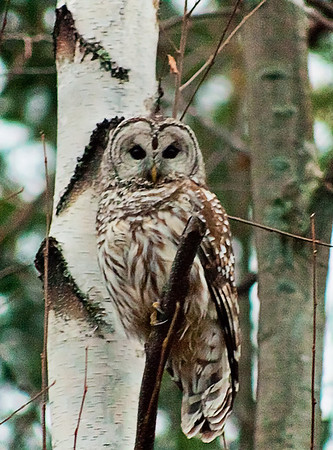 <b>Submitted By:</b> Edward C. Shipman <b>From:</b> Traverse City <b>Description:</b> Barred Owl resting in tree