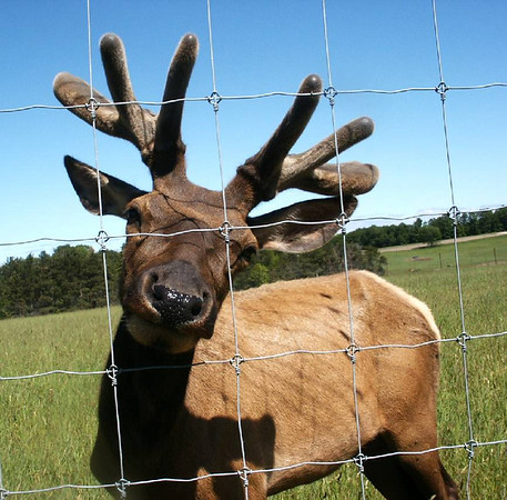 The Elk was very friendly and let me put my hand out and touch the velvet on <br /> the growing antlers.<br /> He then stuck his head as far as he could through the mesh of the fence and <br /> let me pet him.<br /> He was the only one of the bunch that was attracted to humans.<br /> <br /> Glenn Socia<br /> Interlochen<br /> Canon S3IS
