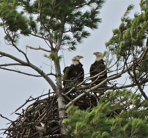 10 05 2013 Eagles on M-22, West Bay, Bingham Twp. - 110 - Version 2
