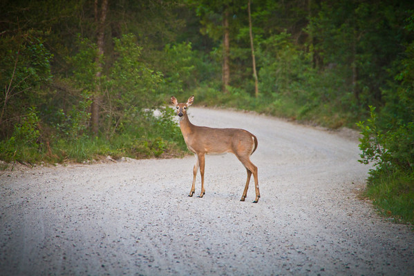<b>Submitted By:</b> Peggy Sue Zinn <b>From:</b> Traverse City <b>Description:</b> Deer crossing road in Sleeping Bear Dunes
