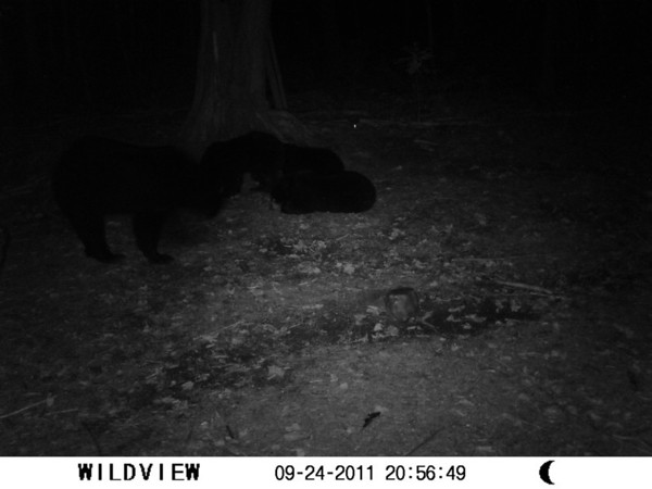 <b>Submitted By:</b> Todd Borse <b>From:</b> Weldon Township <b>Description:</b> Trail cam picture of Momma Bear and Triplets