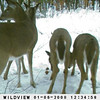 <b>Submitted By:</b> Linda Austin <b>From:</b> Manton <b>Description:</b> Photo taken with a trail cam on our property northwest of Manton.  The trail cam was set up on a tree near a deer run