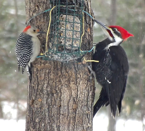 The small one is a red-bellied and the large one is a pileated - both are woodpeckers. I feed them all winter. We have a couple of each.<br /> <br /> Photographer's Name: Robert Smith<br /> Photographer's City and State: Levering, MI