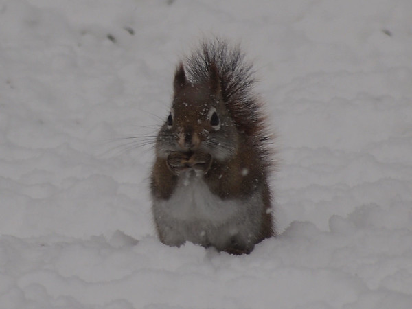 """<b>Submitted By:</b> Gwen Rusnell <b>From:</b> Mancelona <b>Description:</b> This is A little Red squirrel using the sign language of """"More"""". Referring to the birds seed the Birds dropping them from the bird feeder at my neighbor's house."""